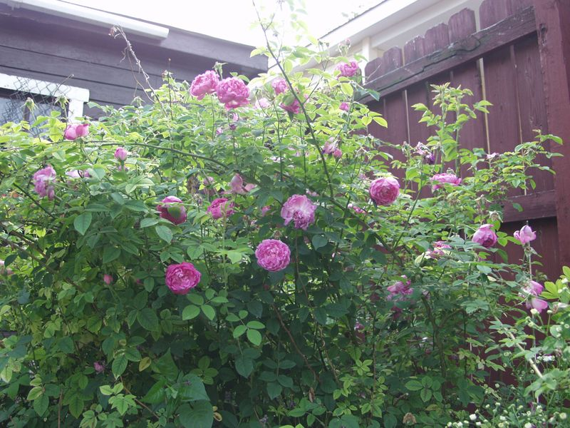 Once blooming rose