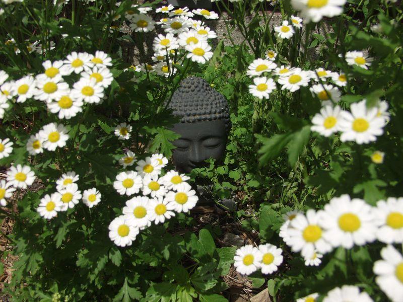 Buddha in daisies