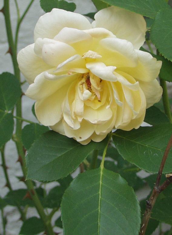 David austen yellow rose