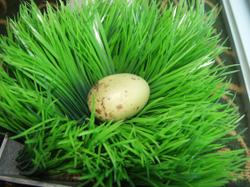Green_egg