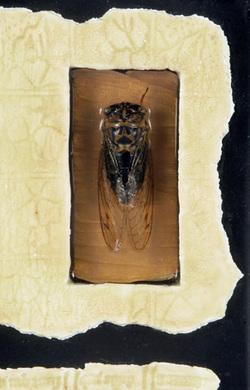 Cicadadetail